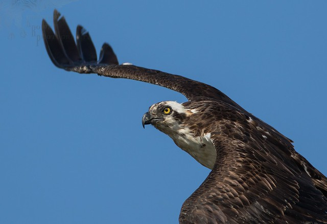 Osprey 6_4 3