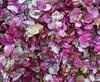 Fallen bougainvillea petals