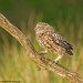 Juvenile little owl (1 of 1) by den9112
