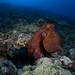 Day Octopus Out For A Morning Stroll - Gun Beach, Guam by RCG Maru