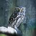 Steinkauz - little Owl ( Athene noctua )