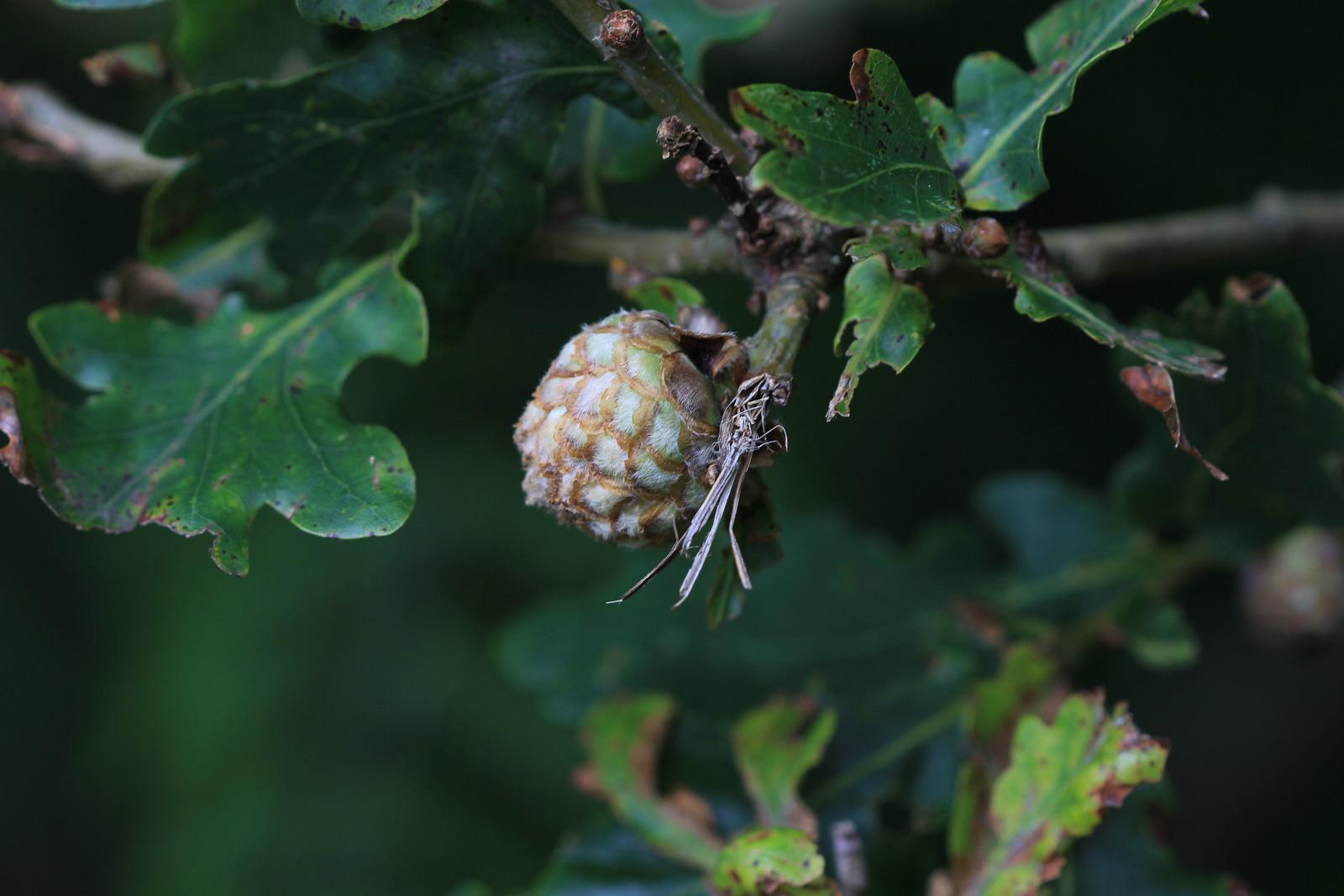 Oak Artichoke Gall - Ashdown Forest