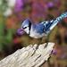*** Bluejay / Geai Bleu by ricketdi