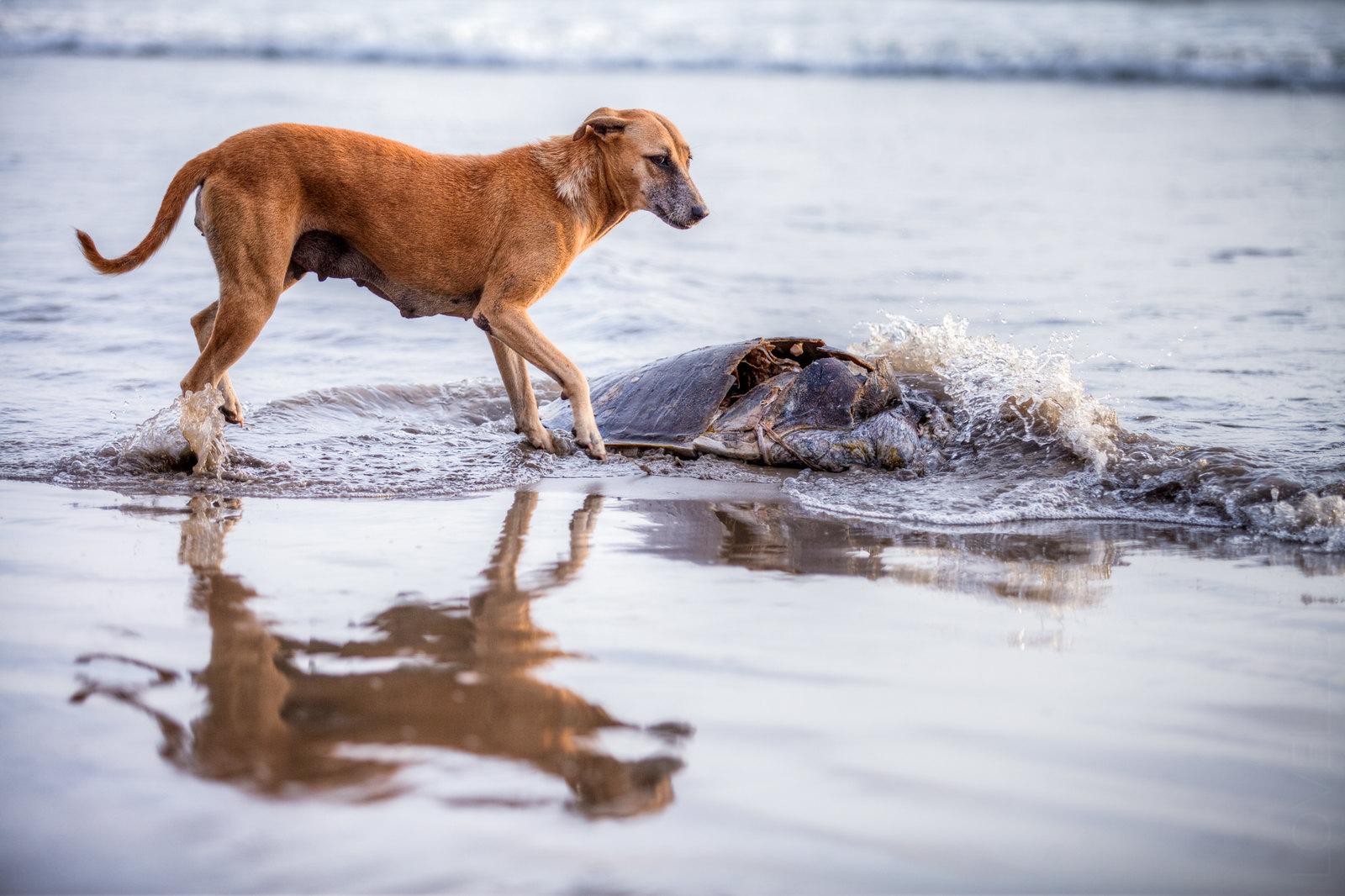 Turtle Carcass - Ashwem Beach