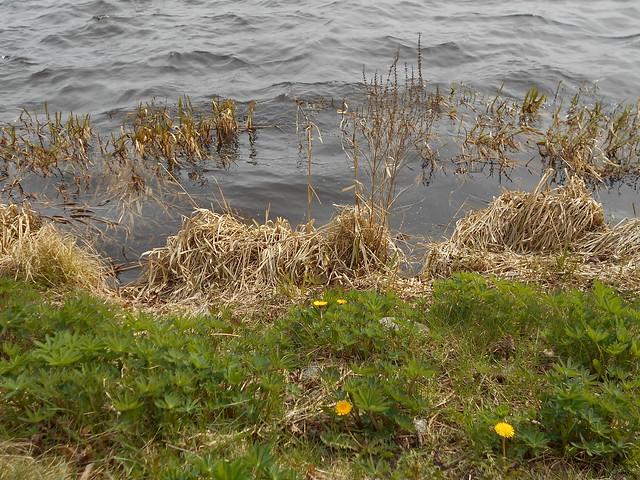 Vapputunnelmia Hämeenlinnassa 1.5.2015; järvenrantakasvillisuutta Vanajavedellä A