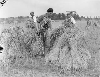 Trooper G.E. Hawley of the Westminster Regiment (Motor) stooking wheat with Dutch farmers... / Le soldat G. E. Hawley, du régiment Westminster (motorisé), rassemblant des gerbes de blé avec des fermiers hollandais...
