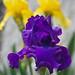 Deep Purple Dutch Lily