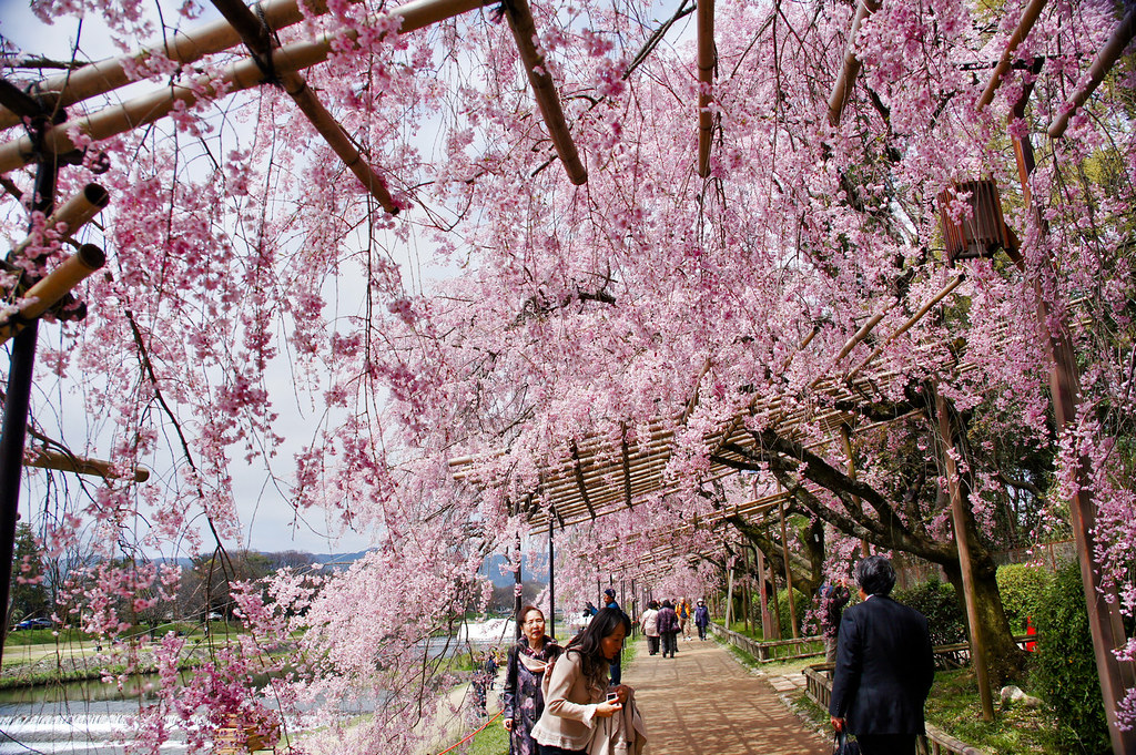 Kyoto hanami