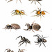 Jumping Spiders (Family Salticidae)