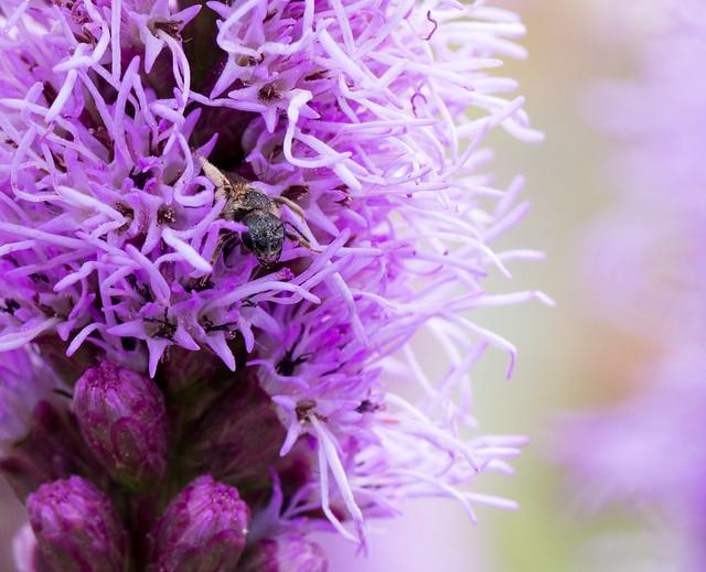 Wild Bee on Purple Flower