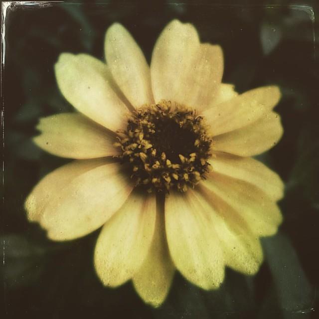 Zinnia #patiogarden #flowers #zinnias #zinnia