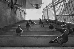 #DailyPigeon 080916 #UrbanWildlife #Dallas #bw #bnw #blackandwhite #InstaDFW #monochrome #pigeon #pigeons #CityBird