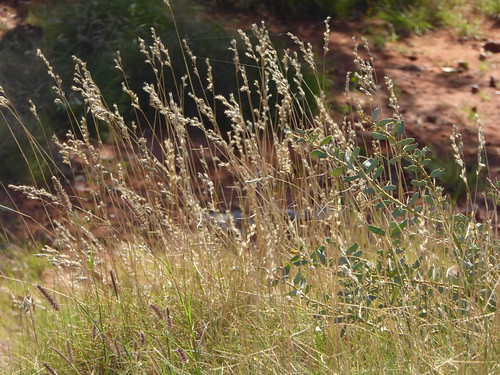 1P Spinifex grasss seeds 332
