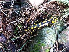 Une salamandre au pied de la Punta Samulaghja