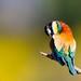 Merops apiaster by kimera69