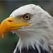 American Bald Eagle by Foto Martien