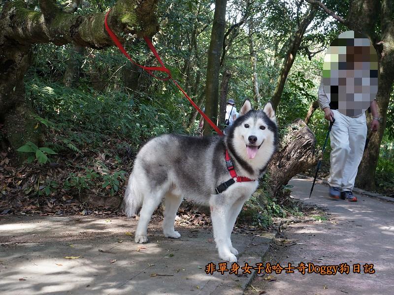 哈士奇Doggy2013陽明山二子坪09