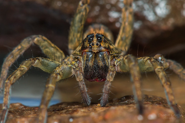 Wolf Spider - - I believe Hogna sp