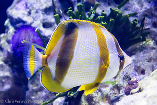 South African Butterflyfish