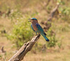 Indian Roller, Uda Walawe National Park