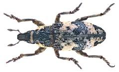 Bothynoderes affinis (Schrank, 1781) Syn.: Chromoderus affinis (Schrank, 1781)