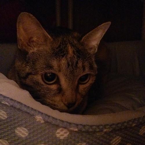 押し入れの奥に置いた猫ベッドでくつろぐカトル by Chinobu