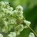 Filipendula vulgaris 'Flore Plena' by Lapommangels