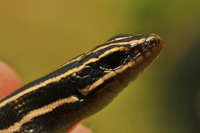 Juvenile Five lined skink