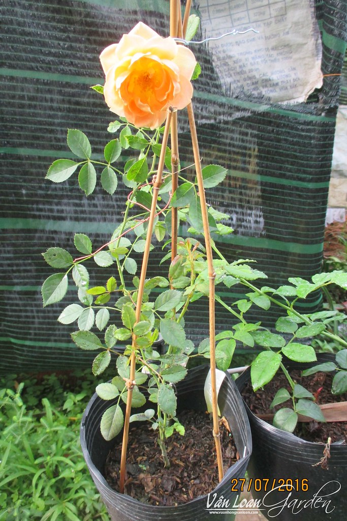 hong leo cam my-vuonhongvanloan.com