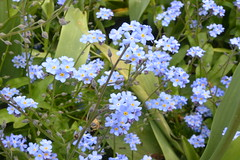flower, plant, herb, wildflower, forget-me-not, meadow,