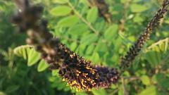 공릉천 관찰일기 | 가시없는 아카시아나무?
