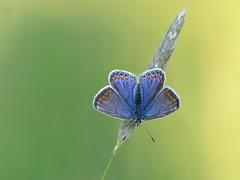 Icarusblauwtje vrouw