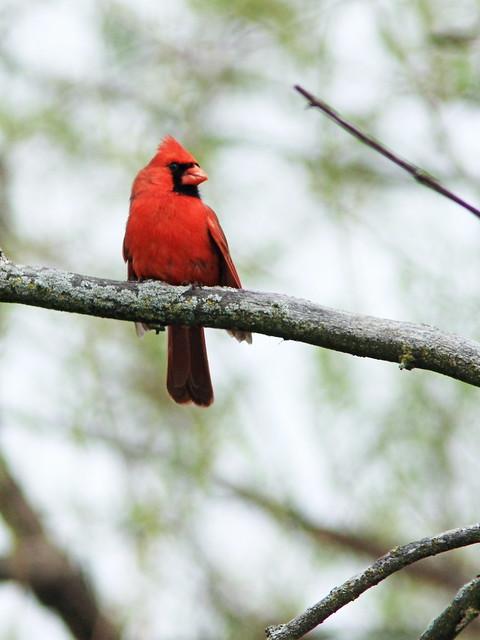 Northern Cardinal 20150506