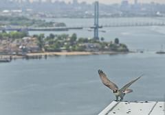 2015 Banding of Falcons on MTA Bridges