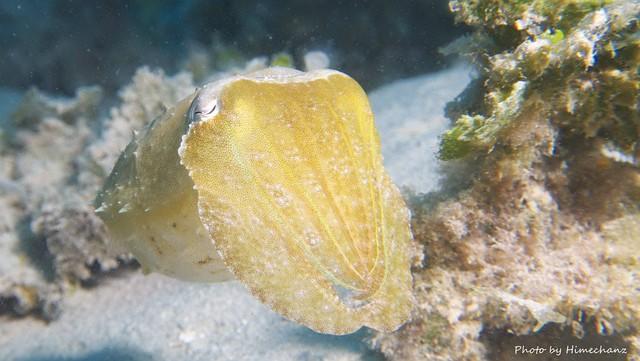 コブシメ幼魚♪