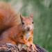 Red squirrel @ Belgium by Marcel Tuit   www.marceltuit.nl