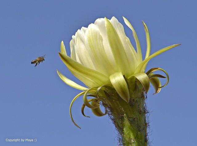 Attacke !!! * Attack !!! * Ataque !!! * Echinopsis spachiana *    ._DSC4444-001