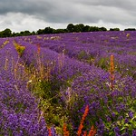 Lavender near Overton, Hampshire.